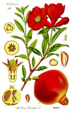 Punica granatum Pomegranate,  Dwarf Pomegranate