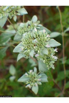 Pycnanthemum albescens Whiteleaf Mountain Mint