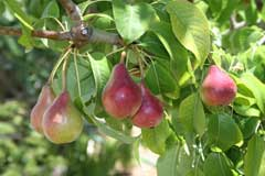 Pyrus communis wild pear common pear pfaf plant database for Arboles frutales de hoja perenne