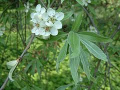 Pyrus salicifolia Willow-Leaved Pear