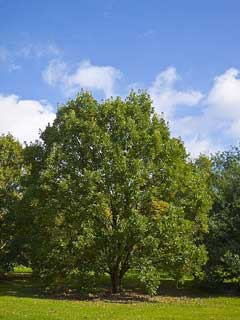 Quercus Bicolor Swamp White Oak Pfaf Plant Database