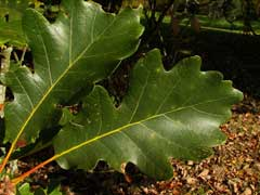 Quercus bicolor Swamp White Oak
