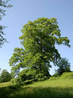 Quercus cerris Turkey Oak, European turkey oak