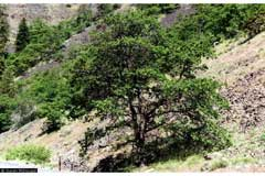 Quercus garryana Oregon White Oak, Garry Oak