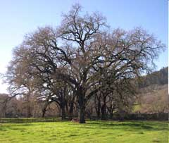 Quercus lobata Californian White Oak, Valley oak