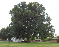 Quercus michauxii Swamp Chestnut Oak
