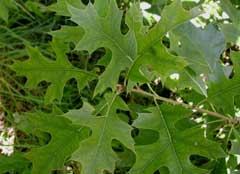 Quercus palustris Pin Oak, Swamp Oak