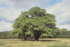 Quercus robur Pedunculate Oak, English oak