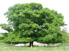 Quercus rubra Red Oak, Northern red oak