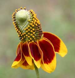 Ratibida columnifera Prairie Coneflower, Upright prairie coneflower, Woolly Cinquefoil, Praire Coneflower, Mexican Hat