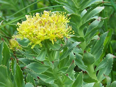 Rhodiola rosea Rose Root