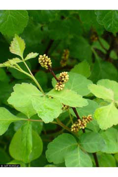 Rhus aromatica Lemon Sumach, Fragrant sumac