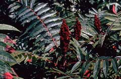 Rhus glabra Smooth Sumach