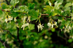 Ribes niveum Slender Branched Gooseberry, Snow currant