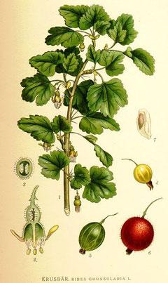 ribes uva crispa gooseberry european gooseberry pfaf plant database. Black Bedroom Furniture Sets. Home Design Ideas