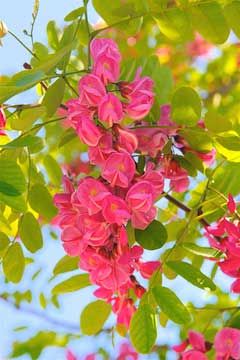 Robinia viscosa | landscape architect's pages