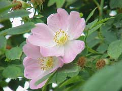Rosa canina Dog Rose