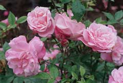 Rosa chinensis China Rose