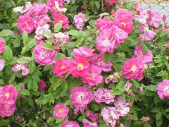Rosa gallica French Rose