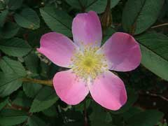 Rosa glauca Red-Leafed Rose