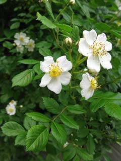 Rosa multiflora Japanese Rose, Multiflora rose