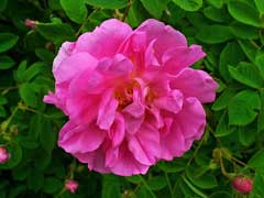 Rosa x damascena Damask Rose