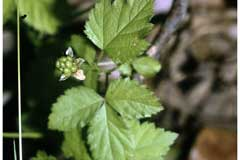 Rubus flagellaris Northern Dewberry