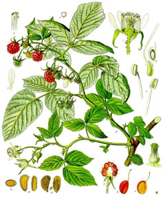 Rubus idaeus Raspberry, American red raspberry, Grayleaf red raspberry