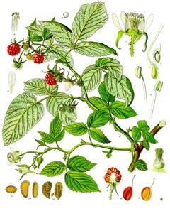 Rubus idaeus wwwpfaforgAdminPlantImagesRubusIdaeusjpg