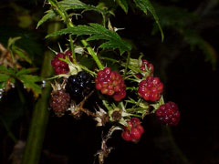 Rubus laciniatus Oregon Cut-Leaf Blackberry, Cutleaf blackberry