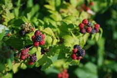 Rubus occidentalis Black Raspberry