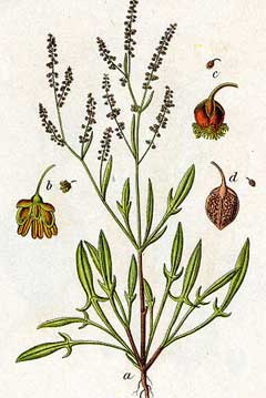 Rumex acetosella Sheeps Sorrel, Common sheep sorrel