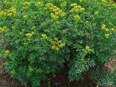 Ruta graveolens Rue, Common rue, Herb of Grace, Garden Rue