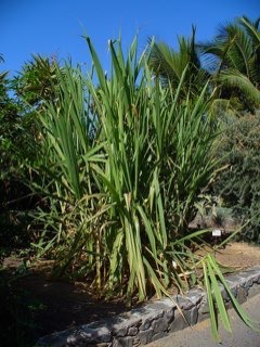 Saccharum Sugarcane, Purple Sugar Cane