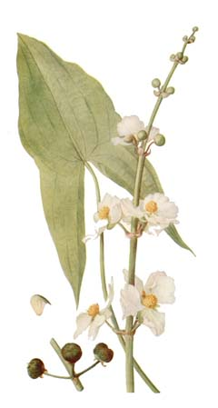 Sagittaria latifolia Duck Potato, Broadleaf Arrowhead