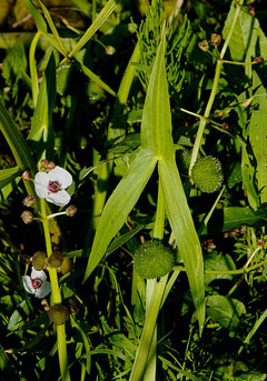 Sagittaria sagittifolia Arrow Head, Hawaii arrowhead