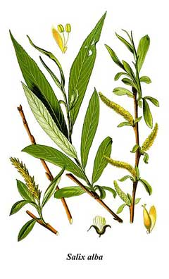 Salix alba White Willow