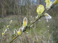Salix viminalis Osier. Basket Willow