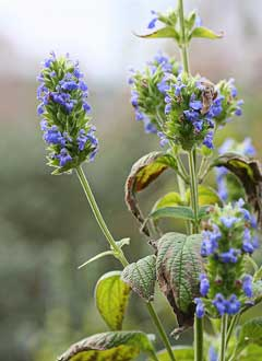 Salvia hispanica Mexican Chia, Chia