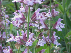 Salvia officinalis Sage, Kitchen sage, Small Leaf Sage, Garden  Sage
