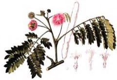 Samanea saman Rain Tree, False Powder Puff, Monkey Pod