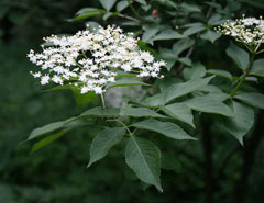 Sambucus nigra Elderberry - European Elder, Black elderberry,  American black elderberry,  Blue elderberry, Europea