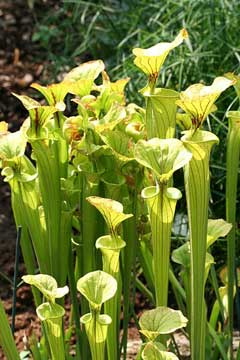 Sarracenia flava Yellow Trumpet, Yellow pitcherplant, Huntsman