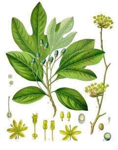 Sassafras albidum Sassafras, Common Sassafras PFAF Plant