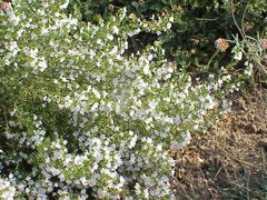 Satureja montana Winter Savory