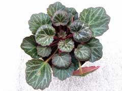 Saxifraga stolonifera Strawberry Saxifrage, Creeping Saxifrage, Strawberry Geranium, Strawberry Begonia