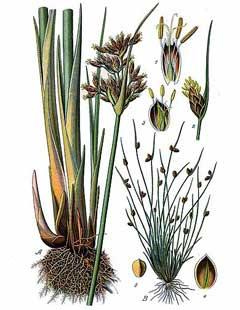 Scirpus microcarpus (Small-fruited Bulrush): Minnesota Wildflowers