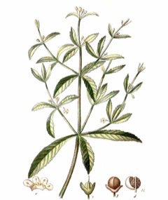 Scoparia dulcis Sweet Broom, Licorice Weed, Vassourinha