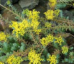 Sedum rupestre Crooked Yellow Stonecrop