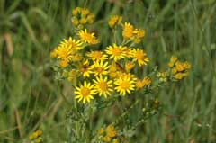 senecio jacobaea Ragwort, Stinking willie